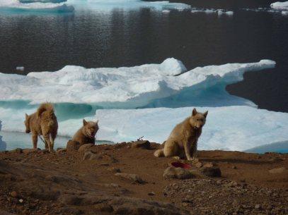Grönlandhunde in Tasiilaq