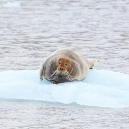 Bartrobbe, Spitzbergen