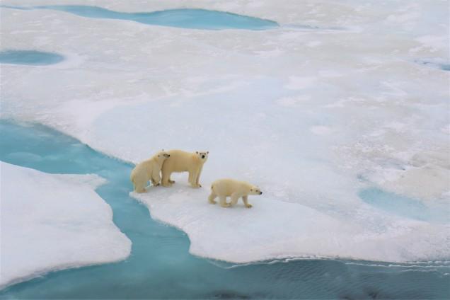 Eisbären im Nordpolarmeer, Laura Schmidt